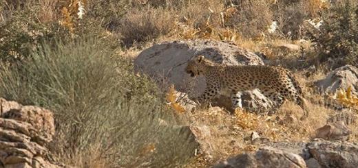 ثبت تصاویر زیبا از یک پلنگ ایرانی در پارک ملی بمو