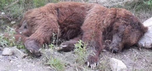 کشته شدن خرس قهوه ای در ارتفاعات آمل