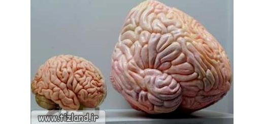 ارتباط بین مغز بزرگ و موفقیت