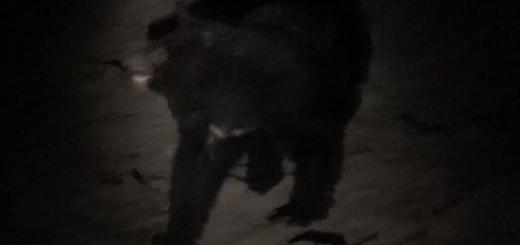 تصویربرداری از خرس سیاه آسیایی در قلعه گنج کرمان