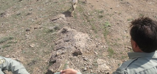 تیمار گرگ خاکستری توسط یک باغدار