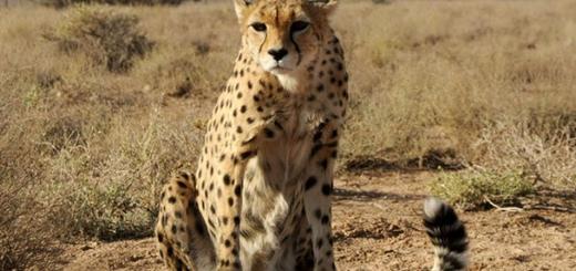 مشاهده ۸ یوزپلنگ نادر در بیارجمند شاهرود
