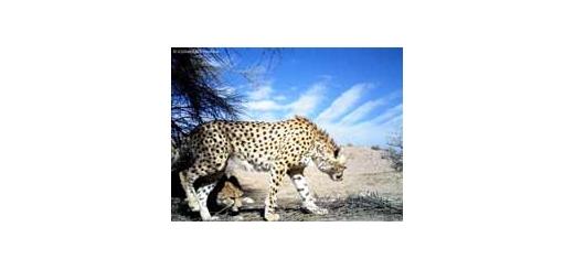 روزملی یوزپلنگ ایرانی