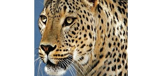 تشریح اقدامات سازمان محیط زیست برای حفاظت از یوزپلنگ