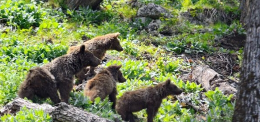 تصویربرداری کم نظیر از چهار خرس قهوه ای در ارتفاعات ساری