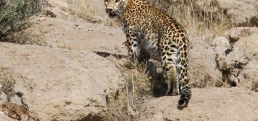 از پلنگ ایرانی در پارک ملی بمو تصویربرداری شد
