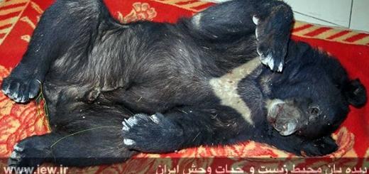 مرگ یک خرس سیاه بر اثر برخورد با خودرو