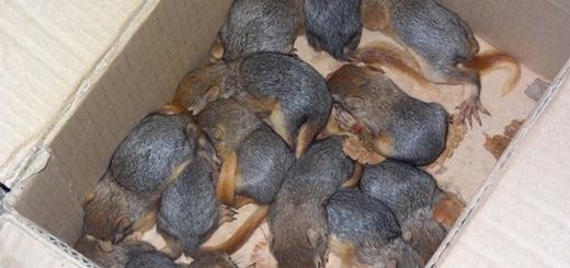 کشف ۶۲ سنجاب ایرانی از قاچاقچیان حیات وحش در بانه