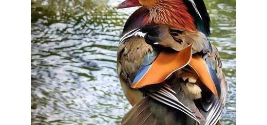 ماندارین، زیباترین اردک جهان
