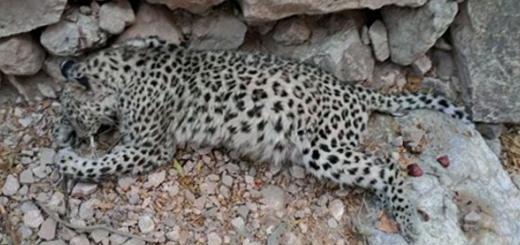 مرگ یک قلاده پلنگ ایرانی در بافق