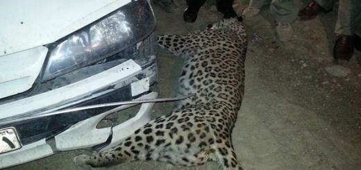 پلنگ ایرانی کشته شد