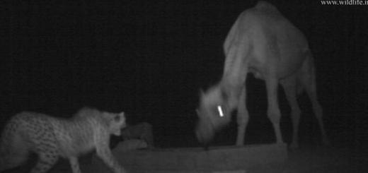فیلم تقابل دو یوزپلنگ و یک شتر در میاندشت برنده جایزه WLT