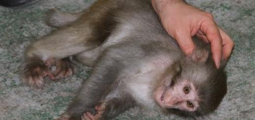 کشف یک میمون رزوس توسط یگان محیط زیست پارک ملی گلستان