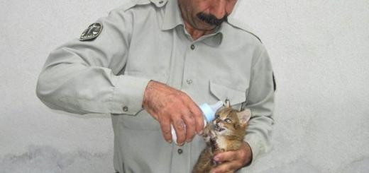محیط بان و گربه جنگلی بدون مادر