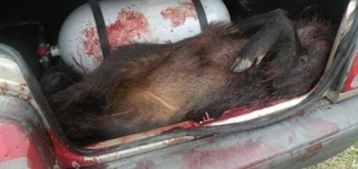 دستگیری باند شکار غیرقانونی و فروش گوشت خوک وحشی به رستوران ها