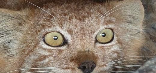 از یک گربه پالاس در شهربابک تصویربرداری شد