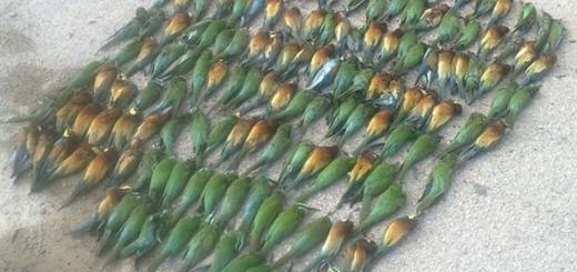 کشتار بیرحمانه ۲۵۴ پرنده زنبورخوار