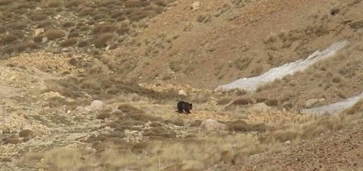 مشاهده یک خرس قهوه ای در ارتفاعات استان تهران