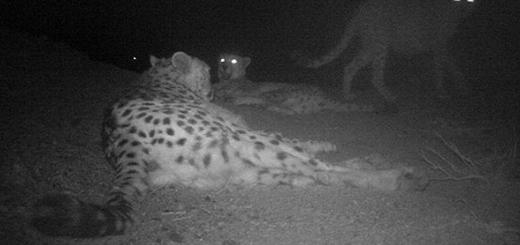 چهار یوزپلنگ آسیایی در پناهگاه حیات وحش دره انجیر
