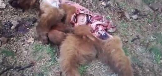 کشتار دردناک توله خرس برای مصرف اجزای بدن