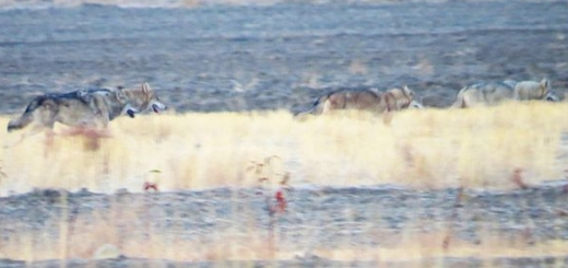 ۴ گرگ خاکستری در اطراف شیروان
