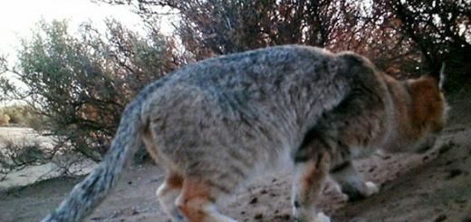 تصویر گربه شنی در پناهگاه حیات وحش عباس آباد