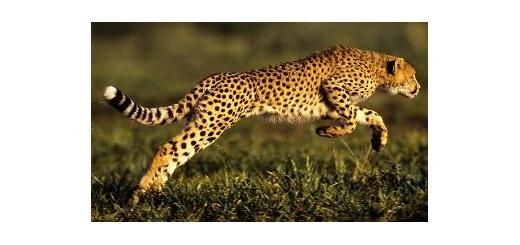 یوزپلنگ ایرانی بیمه شد