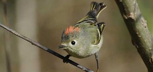 پرندهای که به سبک انسانها حرف میزند