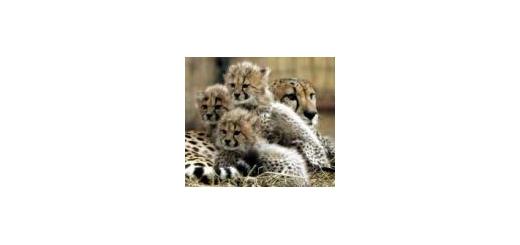 یوزپلنگ های ایرانی در باغ وحش ایتالیا