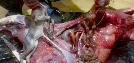 کشتار بیرحمانه بز وحشی آبستن در پارک ملی دنا