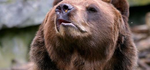 خرس عصبانی از وزوز زنبور