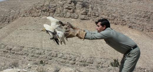تیمار و رهاسازی یک کرکس مصری در خراسان شمالی