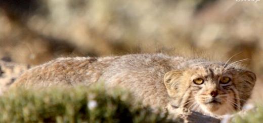تصویر برداری از گربه پالاس در پناهگاه حیات وحش حیدری