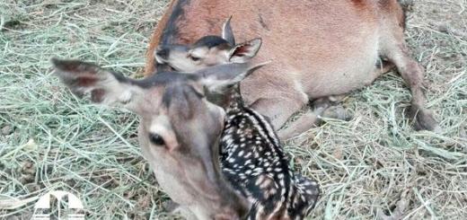 ششمین گوساله مرال متولد شد