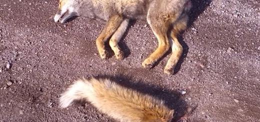 عاملین کشتار و بریدن دم یک روباه دستگیر شدند