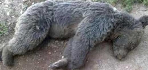 دستگیری قاتل خرس قهوه ای در کرمانشاه