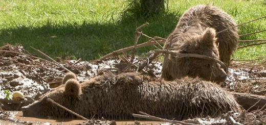 عملیات نجات دو خرس گرفتار در تله های سیمی