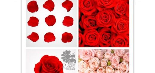 دانلود تصاویر با کیفیت گل و گلبرگ رز