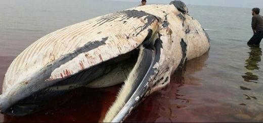 لاشه نهنگ عظیم الجثه با ۱۳ متر طول در سواحل عسلویه