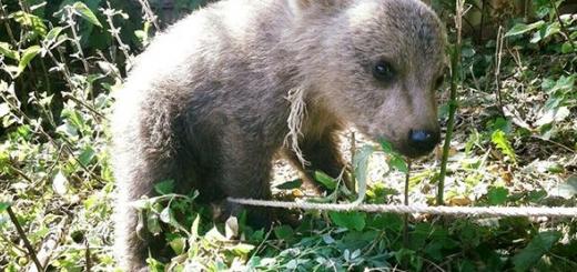 توله خرس سرگردان در نوشهر به اداره محیط زیست تحویل شد