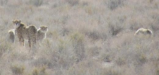 تصویربرداری شگفت انگیز از یوزپلنگ و سه توله اش در خارتوران