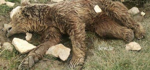 کشته شدن بیرحمانه خرس قهوه ای در اطراف کرمانشاه