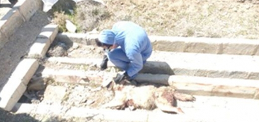 مرگ یک گرگ خاکستری بر اثر شلیک گلوله چهارپاره