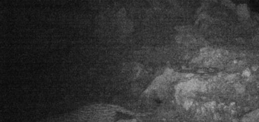 حضور پلنگ ایرانی در کبیرکوه ایلام