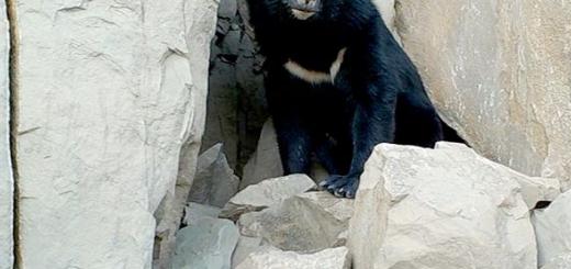 مشاهده خرس سیاه آسیایی در بشاگرد هرمزگان