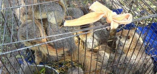 کشف ۴۰ سنجاب از قاچاقچیان حیات وحش در خرم آباد