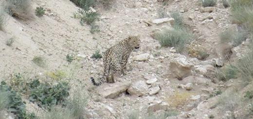 تصویر برداری از پلنگ ایرانی در منطقه شکار ممنوع خنار