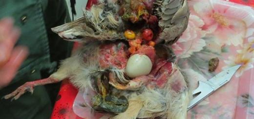 کبک وحشی و ۶ تخم درون بدنش قربانی خودخواهی شکارچی