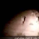 یوز پلنگ ماده و سه توله اش در میاندشت