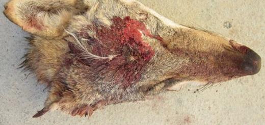 عاملین کشتار و بریدن سر یک گرگ خاکستری در خواف دستگیر شدند